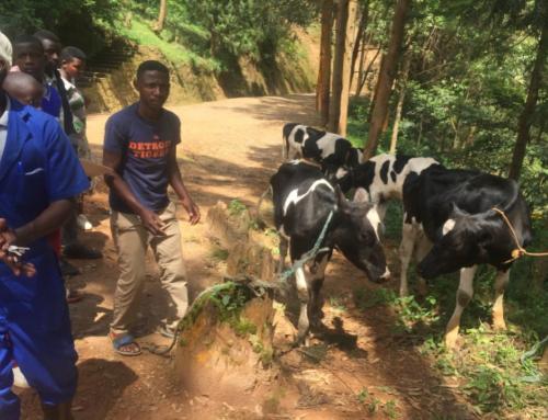 Livestock for the vulnerable Child Headed Households